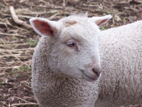 White_lamb